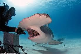 big hammerhead shark