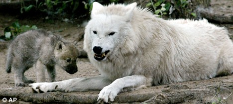 white wolf with cup angry